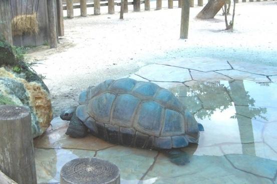 huge live turtle