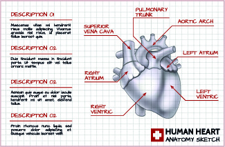 human heart medical vector graphics