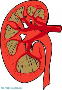 Human kidney diagram free vector download 2678 free vector for human kidney disected ccuart Image collections