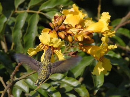 hummingbird flower nectar nectar