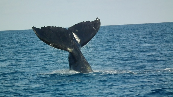 humpback tail abrolhos humpback whales