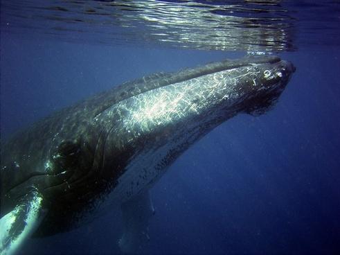 humpback whale sea