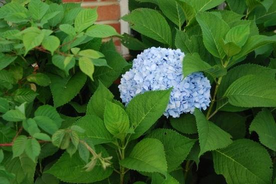 hydrangea blue hydrangea blue flower