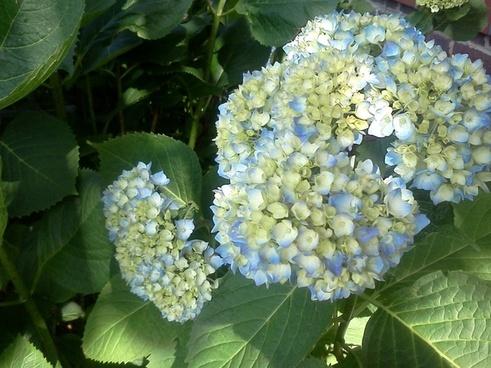hydrangea blue pastel