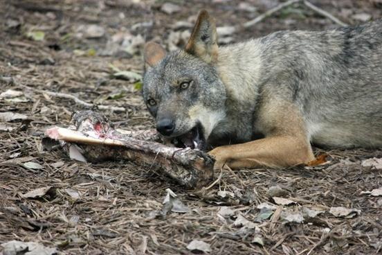 iberian wolf eating