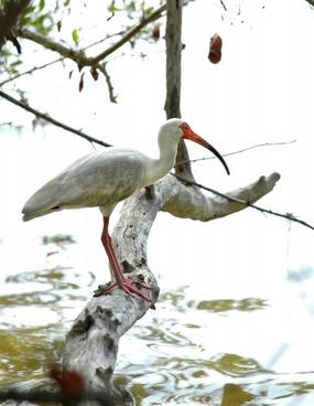 ibis bird white