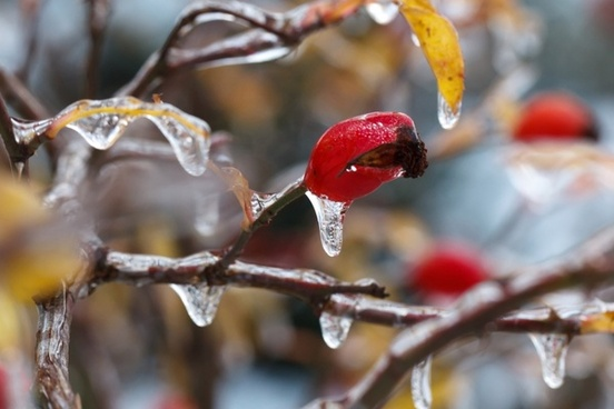 ice on wild rose