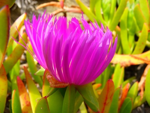 ice plant flower red