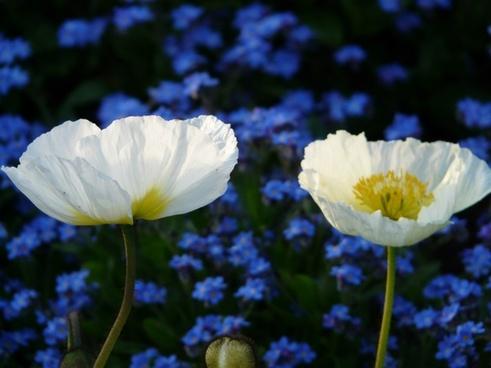 iceland poppy flower white