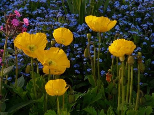 iceland poppy flower yellow