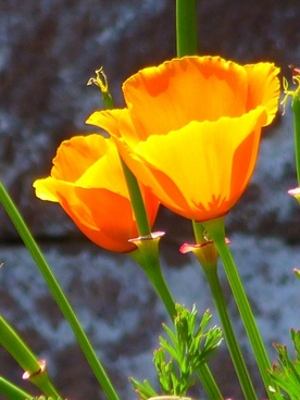 iceland poppy papaver nudicaule naked stalks poppy
