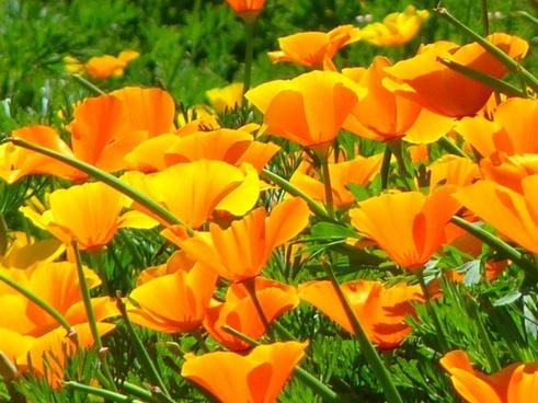 iceland poppy papaver nudicaule naked stalks poppy