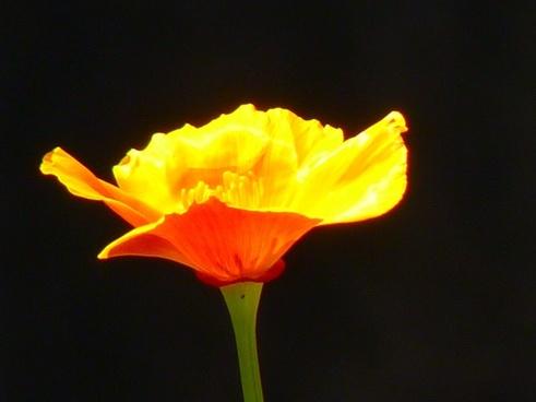 iceland poppy papaver nudicaule naked stalks-poppy