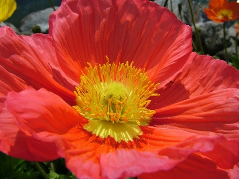 iceland poppy papaver nudicaule poppy