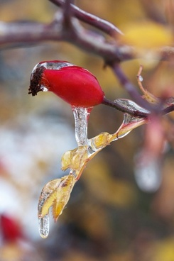 icicles on a wild rose