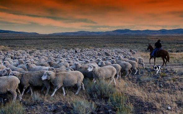 idaho grazing sheep