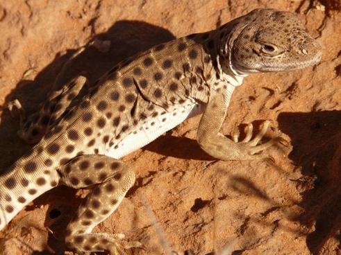iguana animal reptile