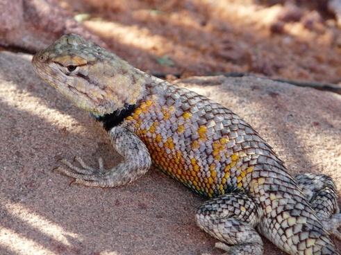 iguana desert iguana desert
