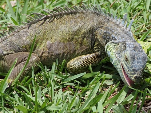 iguana eating