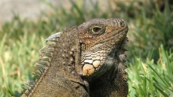 iguana herbivorous lizards reptile