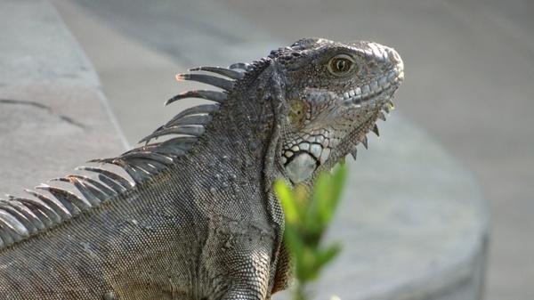 iguana iguanas galapagos