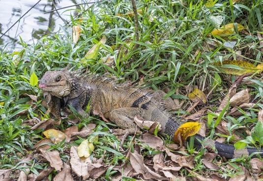 iguana lizard green