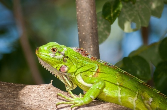 iguana reptile wildlife