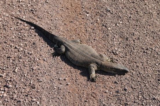 iguana saurian namibia