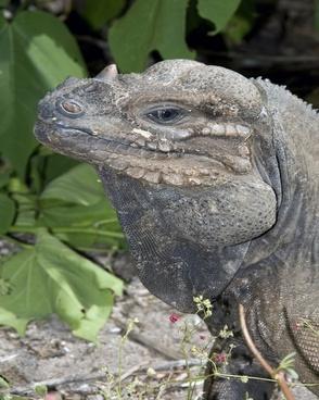 iguana wildlife nature