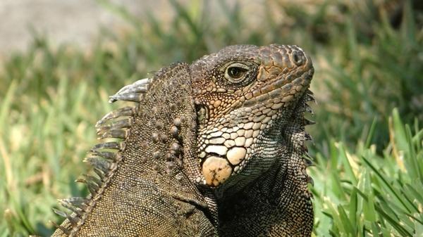 iguanas in ecuador