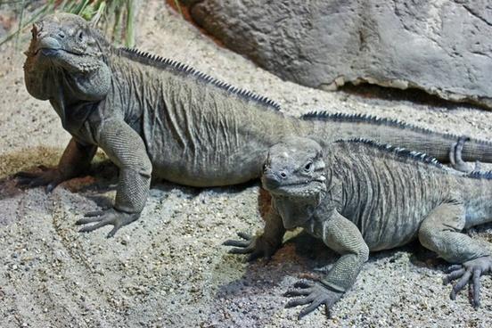 iguanas reptile nature