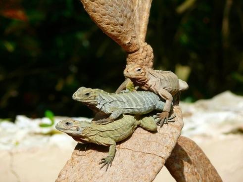iguanas tree animal