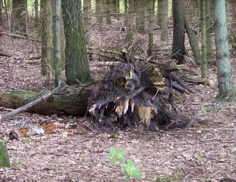illussion tree root