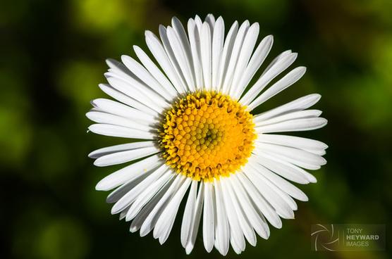 imgp4733 daisy