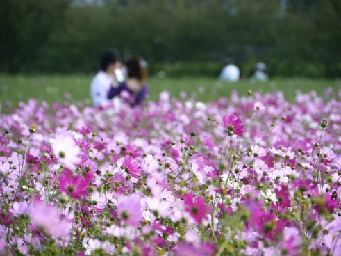 in love cosmos flower garden