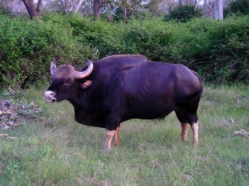 india buffalo animal