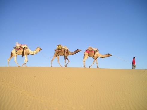 india desert camels