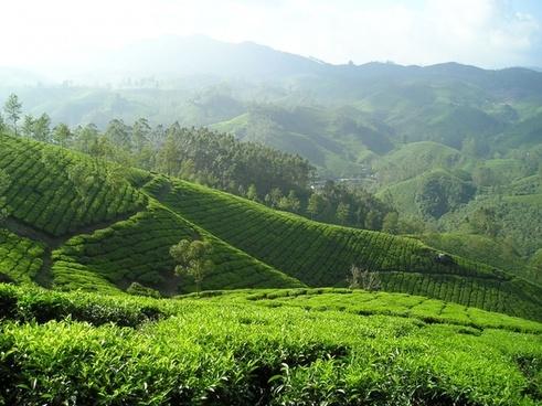 india tee tea plantation