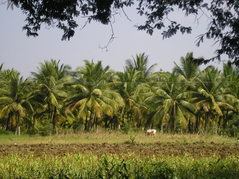 india thanjavur coconut trees