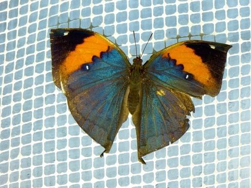 indian blattschmetterling kallima inachus butterfly