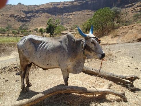 indian bull animal