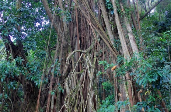 indian rubber tree in hong kong china