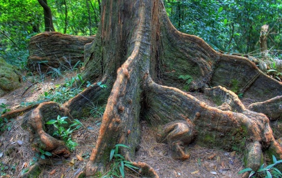 indian rubber tree roots in hong kong china