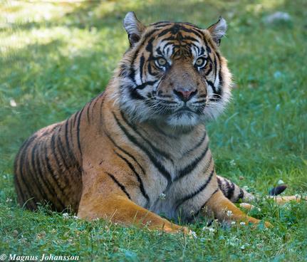 indian tiger again at parken zoo eskilstuna sweden