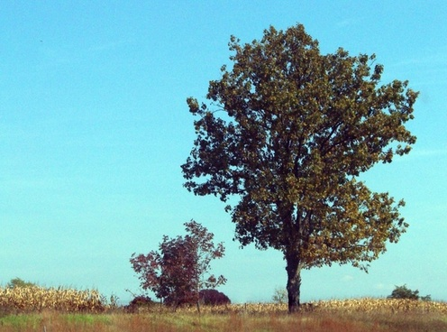 indiana trees and cornfield