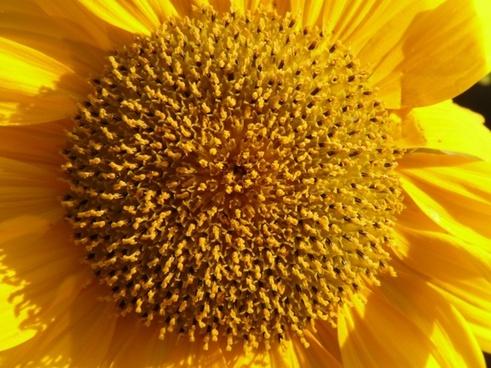 inflorescence flower basket tongue-flower