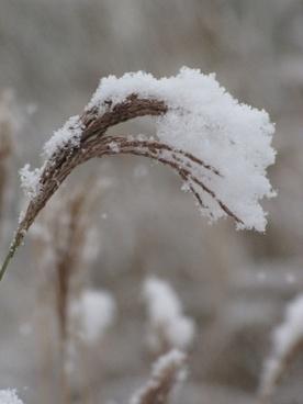 inflorescence miscanthus under snow