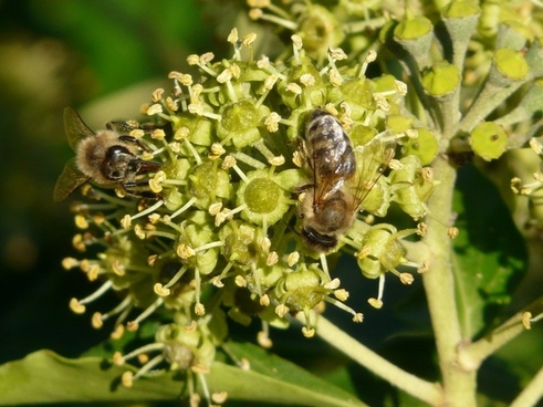 inflorescence pollination bees