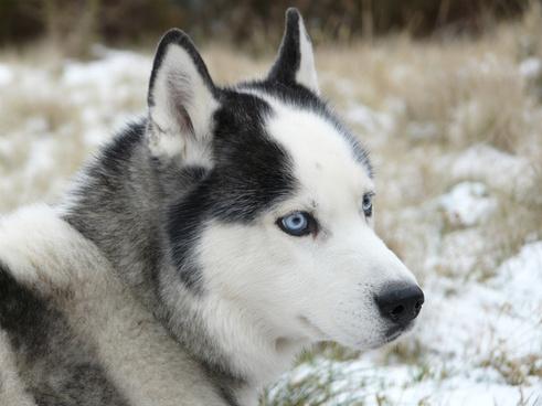 injun snow dog