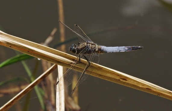 insect dragonfly great blaupfeil